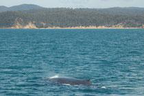 Buckelwale sind im Durchschnitt ca. 13 m lang (maximal 18 m). Das Gewicht liegt bei 25 bis 30 Tonnen. Laut der Internationalen Walfangkommission (IWC) leben zurzeit (Stand Mitte 2011) schätzungsweise wieder 25'000 Buckelwale in den südlichen Meeren.