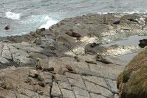 Die Kolonien an den australischen Küsten wurden am Ende des 18. Jahrh. und in Neuseeland bis 1825 vernichtet. Heute sind die Tiere vollständig geschützt. Die Bestände in Australien werden wieder auf 35.000 Individuen geschätzt.