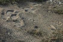 Im Corbett NP erhielten die Tierspuren eine neue Dimension: Neben Tigerspuren liessen sich nämlich nun auch immer wieder die mächtigen Spuren von Elefanten erkennen. Übrigens: Drei Mal der Umfang des Fussabdrucks ergibt die Schulterhöhe des Elefanten.