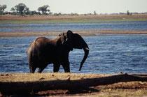 Eines Mittags wurden wir von einem lauten Trompeten aufgeschreckt. Nicht weit von unserem Camp sahen wir diesen Elefantenbullen (!), der mit allen Mitteln versuchte, ein Elefantenkalb davon abzuhalten, im Fluss zu baden und es aus dem Wasser zu treiben.