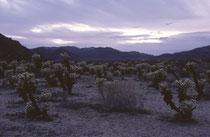 Im Joshua-Tree-Nationalpark kann man auch spektakulären Kakteen begegnen. Wie hier einer Ansammlung von Chollas (Teddy Bear Cactus), Cylindropuntia bigelovii. Sie sind in der Vegetation der Mojave- und Sonora-Wüste verbreitet. (s. auch Galerie USA IV).