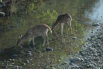 Der Corbett NP ist mit seinen natürlichen Flussläufen reich an idyllischen Wasserstellen, wo manche Tiere (hier Axishirsche) trinken oder baden können. Für wiederum andere, z.B. Fische (oder Vögel, die sich von Fischen ernähren) sind sie Lebensgrundlage.
