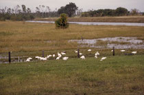 """Die gekrümmten Schnäbel dieser Vögel und die schwarzen Flügelspitzen weisen auf den Schneesichler (Eudocimus albus), engl. """"American white ibis"""". Im Hintergrund des Schwarms befindet sich vermutlich ein Jungtier."""