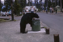 Dasselbe Bild 1966. Von 1931-1969 gab es so rund 48 Personenschäden und über 100 Sachbeschädigungen durch Bären. Deshalb wurde 1970 ein neues, rigoroses Bärenverwaltungsprogramm implementiert, was zu massiver Abnahme der Schäden führte.