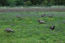 """Im Tower Hill Reservat gibt es auch Emus (Dromaius novaehollandiae). Übersetzt bedeutet der wissenschaftliche Artname """"schnellfüssige Neu-Holländer"""". Die Herkunft der in vielen Sprachen gebräuchlichen Bezeichnung """"Emu"""" ist dagegen unbekannt."""
