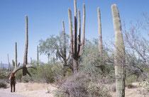 Die Temperaturen im Saguaro NP übersteigen im Sommer tagsüber oft 40°C im Schatten, während es abends auf durchschnittlich 22 C abkühlt. Der Nationalparkstatus wurde erst im Jahre 1994 vergeben. Heute erstreckt sich der Park  über knapp 370 km².