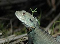 """Der Gippsland Water Dragon bewohnt das östliche Australien und ist stets in der Nähe von Fliessgewässern zu finden. Das Gebiet des Croajingolong N.P. wurde während tausenden von Jahren von Aborigines bewohnt (der Name des Stammes ist """"Krauatungalung"""")."""
