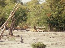 Wenn das Gebiet reich an grösseren Huftieren ist, dürfen sie nicht fehlen: Die Löwen. Wir entdeckten sie etwas abseits der Strasse, ganz unscheinbar im Schatten einiger Mopane Büsche.