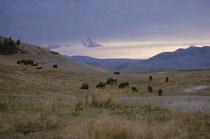 Abermillionen Bisons lebten einst in Amerika. 1890 waren sie fast ausgerottet. Heute gibt es wieder etwa 250'000 Individuen. 350-500 leben auf der National Bison Range, Montana (1908 als Schutzgebiet geschaffen, ist sie heute Zentrum der Bisonforschung).