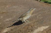Auch bei diesem Vogel, dem Wendehals (Jynx torquilla), dürfte es sich um einen Durchzügler (Ostzieher) handeln. Er ist nämlich der einzige Langstreckenzieher unter den europäischen Spechten und überwintert südlich der Sahara.