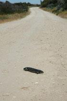 Auf der Fahrt zur Küste des 500 km2 grossen Coorong NP, sonnte sich mitten auf der Strasse, diese Tannzapfenechse (Tiliqua rugosa). Sie setzt sich damit grosser Gefahr aus, denn in Australien verlangsamen die Autofahrer den Wagen nicht wegen diesen Echsen