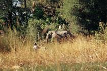 Auch ohne Flusspferde gab es Momente, wo uns auf der Fahrt im etwas schräg im Wasser liegenden Mokoro etwas mulmig wurde, so wie hier, wo ein Elefant beschlossen hatte, an dem schmalen Kanal vor uns seinen Durst zu löschen. Da blieb uns nur noch zu warten