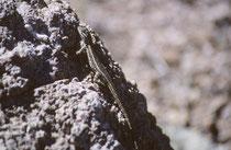 """Die ovipare Slevins Bunchgrass-Eidechse (""""Slevin's bunchgrass lizard"""" [Sceloporus slevini]) mit einer Körperlänge von nur 4-7 cm  lebt ebenfalls nur im SW der USA und in Nordmexiko. Die Nahrung besteht hauptsächlich aus Insekten, aber auch Spinnen."""