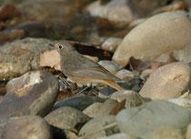 """Das ist in der Tat ein Hausrotschwanz-Weibchen, engl """"Black Redstart"""" (Phoenicurus ochruros). Der Hausrotschwanz hat nämlich ein Verbreitungsgebiet, das von Zentralasien (Südfuss des Himalaya) bis in den Mittelmeerraum, ja bis Westeuropa reicht."""