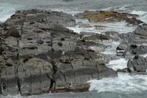 Beeindruckend ist die Kletterfähigkeit der Neuseeländischen Seebären. Die Tiere steigen die fast senkrechten Wände an der Küste hoch und ruhen und schlafen dann auf schmalen Felssimsen.