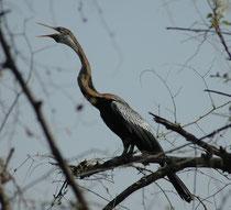 Der Indische Schlangenhalsvogel (Anhinga melanogaster) – hier mit ausgestrecktem Hals - sucht seine Nahrung tauchend. Um den Auftrieb zu verringern, wird das Gefieder schnell durchnässt. Um es zu trocknen, ruht er oft mit ausgebreiteten Flügeln auf Ästen.
