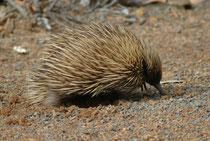Dies ist ein Ameisenigel (auch Echidna genannt). Er gehört – zusammen mit dem Schnabeltier – zu den eierlegenden Säugetieren ! Auf Kangaroo Island ist die Art Tachyglossus aculeatus (= Kurzschnabeligel) durch die Unterat T. a. multiaculeatus vertreten.
