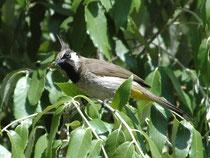 """Wie alle anderen Bülbüls, besitzt auch der ca. 18 cm lange Himalayabülbül (Pycnonotus leucogenis) im Nacken dünne Haarfedern. Daher der Name """"Haarvögel"""". Er lebt im Buschland in Nordindien und frisst Insekten, Früchte, Sämereien, Knospen, Nektar u.a."""