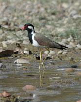 Der Rotlappenkiebiz (Vanellus indicus) ist halt immer wieder fotogen. Er frisst vor allem bodenbewohnende Wirbellose, die er auf Schlammflächen, an Tümpeln, Gräben, Kanälen und Flüssen sucht.