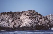 Weit häufiger auf dem Seal Rock ist der eher dunkelbraune Kalifornische Seelöwe (Zalophus californianus) (Weibchen oft etwas heller). Diese Ohrenrobbe ist mit ca. 75'000 Exemplaren an den Pazifikküsten der USA vertreten.