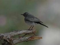 Auch der Schwarzschwanz (Cercomela melanura) liess sich in unmittelbarer Nähe der Lodge beobachten. Diese Art ist ein Jahresvogel in der Region (Sinai Halbinsel, Negev Wüste, Region ums Tote Meer, Jordan Tal, Berge um Aqaba etc.).