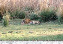 """Auch """"Alphonso"""" schien auf Freiersfüssen zu sein. Vorerst streckte er sich und dann zog er gegen die Ruinen des Jagdhauses Rajbagh. Einige Zeit danach hörten wir sein Brüllen durch die Weiten der Seenlandschaft hallen."""