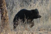 """Der Hindi-Name des Bären, bhālū, inspirierte Rudyard. Kipling zu dem Charakter """"Baloo"""" in seinem """"Dschungelbuch"""". Er lebt bevorzugt in Laubwäldern. So war denn der eher scheue und furchtsame """"Baloo"""" leider im dichten Unterholz schwierig zu fotografieren."""