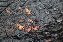 Auf Floreana sahen wir auch bald die Rote Klippenkrabbe (Grapsus grapsus) in grosser Zahl. Während die Jungtiere schwarz gefärbt sind, zeichnen sich erwachsene Exemplare durch eine unglaubliche Farbenpracht aus.
