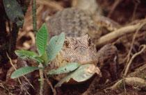 Auf diesem Bild sieht man den für die Art charakteristischen, markanten Knochenwulst vor den Augen deutlich. Der Brillenkaiman treibt am Tag an der Oberfläche und wird nachts aktiver. Männchen sind territorial und haben eine Rangordnung (Sarapiqui River).
