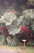 Vegetation (Art ?) auf dem 2708 m hohen Vulkan Poas, der häufig in den Wolken liegt und deshalb ist die Feuchtigkeit dort ziemlich hoch.