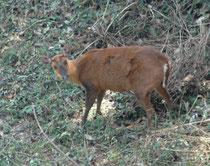 """Der scheue, einzelgängerische Indische Muntjak (Muntiacus muntjak), wegen seines Alarmrufs auch """"barking deer"""" genannt, bewohnt dichte Wälder und Hügellandschaften bis auf 4000m ü. M. mit genügend Deckung und Nahrung (Gräser, Blätter, Triebe junger Bäume)"""