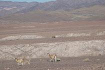 Ich war erstaunt, mitten in dieser lebensfeindlichen Wüste plötzlich Guanacos (Lama guanicoe), die wilde Ahnform der Lamas, zu sehen. Ich hätte sie eher im Gebirge erwartet. Aber eben, als Kamelartige kommen sie offenbar auch mit Wüstenbedingungen zurecht