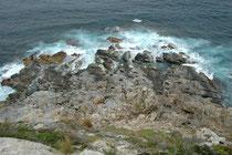 """An den Küsten des Cape du Coedic findet man eine Kolonie von Neuseeländischen Seebären (Arctocephalus forsteri), auch """"Australischer Seebär"""" gennant. Sein Hauptverbreitungsbebiet sind die Küsten der Südinsel Neuseelands und von Süd- und Westaustralien."""