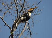 """Hier ruht der Doppelhornvogel (Buceros bicornis). Der Schnabel kann bis 34 cm lang werden, das """"Horn"""" – vermutlich ein Resonanzkörper für seine Rufe - bis 20 cm. Er besiedelt immergrüne feuchte Primärwälder von Indien über S-China bis nach Sumatra."""