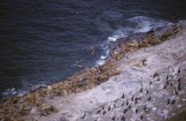 In der Kolonie leben auch noch ein paar Kalifornische Seelöwen (Zalophus californianus). Die Vögel, die höher auf den Felsen brüten sind Pinselscharben (Phalacrocorax penicillatus).Aber es hat auch Gelbschopflunde, Taubenteisten und andere.