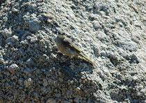 """Bei diesem schwierig zu bestimmenden Vogel dürfte es sich um einen Pfeifhonigfresser, """"Singing Honeyeater"""" (Lichenostomus virescens) handeln, einen Allesfresser (Nektar, kleine Insekten (inkl. Larven), Beeren und Früchte) (Granite Island)"""