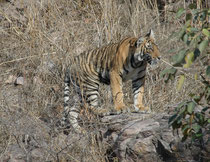 Bald begannen die Jungtiere, ihren Rückzugsort zu verlassen und kletterten über den felsigen Untergrund langsam nach rechts. Dank der Schutzbestrebungen nimmt die Zahl der Bengaltiger allmählich wieder zu. 2016 zählte man wieder 3900 Expl. über 18 Monate.