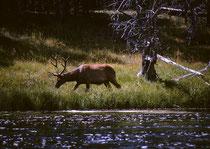 """Der 8987 km² grosse Park ist natürlich  auch reich an Wildtieren (seit 1894 ist das Töten von allen Tieren im Park verboten). So begegnet einem schon bald nach Überschreiten der Parkgrenze einer der ca. 20'000 Wapitis (Cervus canadensis), englisch""""Elk""""."""