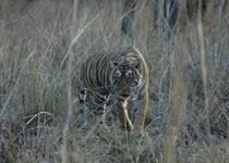 Sie trat direkt vor uns ins Offene in ihrer ganzen, beeindruckenden Kraft und Schönheit. Angriffe auf Besucher gibt es in Ranthambore kaum und nur, wenn sich ein Tiger bedrängt fühlt. Offenbar gehören Menschen in Autos nicht zu ihrem Beutespektrum.