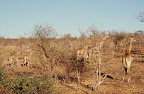 Zu den Tieren, die durch die dürre Landschaft zum Ufer des Chobe hinunterwandern, gehören auch Giraffen (Südafrikanische Giraffe, Giraffa camelopardis giraffa). Dieser Gruppe kam ich zu Fuss ziemlich nahe.