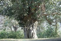 Die Banyan-Feige (Ficus benghalensis) wächst epiphytisch auf einem Baum.. Sie sendet Luftwurzeln aus, die, wenn sie den Boden erreichen, der Pflanze ermöglichen, vom Bodensubstrat zu leben. Mit der Zeit wird der Wirtsbaum dann erdrückt und stirbt.
