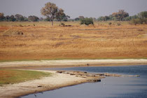 Auch dieser kleine See hätte eigentlich zum Baden geladen, wenn da nur nicht die Bewohner - Nilkrokodile (Crocodylus niloticus) - gewesen wären. (Moremi)
