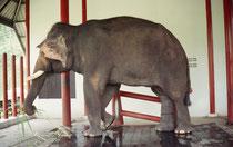 """Einer der sog. """"weissen Elefanten"""" im Conservation Center. Diese Elefanten sind nicht von weisser Hautfarbe (Albinos), jedoch müssen sie eine blasse Haut haben. Zudem müssen sie diverse andere Kriterien erfüllen, die in alten Schriften festgelegt sind."""