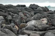 Auf denselben Lavafelsen wärmen sich die endemischen Galapagos-Meerechsen (Amblyrhynchus cristatus) auf. Auch hier sieht man wieder die Roten Klippenkrabben. Eventuell leben sie in einer Art Symbiose mit den Echsen (entfernen Hautparasiten).