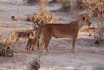 Allmählich - vielleicht auch etwas beeinflusst, durch die Touristen, welche dem Spiel der Jungen fasziniert zuschauten - entschloss sich die Löwin sich etwas zurückzuziehen....