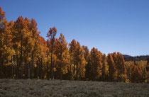 Noch einmal leuchtendes herbstliches Blättergold. Vor einem wolkenlosen tiefblauen Himmel.