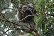 """Auf dem """"Koala Walk"""" hat man die beste Gelegenheit, Koalas (Phascolarctos cinereus), diese baumbewohnenden Beutelsäuger in ihrer natürlichen Umgebung beobachten. Sie können nämlich bis zu 20 Stunden am Tag hoch in den Bäumen schlafen."""