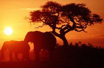 Sonnenuntergang bei der Savuti Tränke. Dies ist vermutlich der meistfotografierte Baum Afrikas. Dass gerade in diesem Moment noch ein paar Elefanten ihren Durst löschten, machte das Bild perfekt.