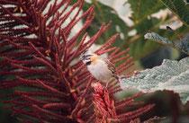 Vogel (Art ?) beim Vulkan Poas