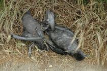 Auf Griffith Island brütet der Kurzschwanz-Sturmtaucher (Ardenna tenuirostris) (ca. 100' 000 Bruthöhlen). Die Eltern sind tagsüber beim Fischfang und kommen am Abend zurück. Leider war ein Fuchs auf die Insel eingewandert und tötete viele Jungtiere.